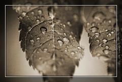Leaves (Photo Lavina) Tags: red bw white storm black wasser nuvole wolke bn mde sw foglia braun beforethestorm natale pietra bltter rosso statua sonno bianco nero schwarz marrone tropfen tempesta ragazzi weis mdigkeit gocceacqua lsphotoinfo lsphotographylsphotoinfolavina lsphotogrpahy