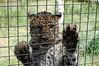 Amur Paws (JSleeper) Tags: oregon amurleopard greatcatsworldpark