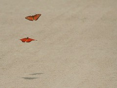 The Elusive Butterfly (TexasEagle) Tags: inflight butterflies gulffritillary challengeyouwinner cy2winner pfogold beautifulworldchallenges thechallengefactory challengefactoryultimategridwinner