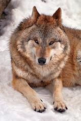[フリー画像] [動物写真] [哺乳類] [狼/オオカミ]        [フリー素材]