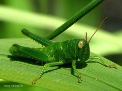 Tipa Klong, the Green Grasshopper is Back! (mang M) Tags: macro green nature insect grasshopper ecopark insekto tipaklong pinoykodakero citrit theunforgettablepictures theunforgettablepicture photoexplore explorewinnersoftheworld 100commentgroup vosplusbellesphotos mangmaning2000 smallcreatureswilllovethisplace lovelylovelyphoto