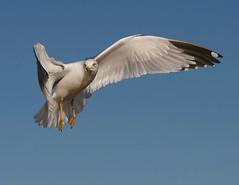 Ring-billed Gull 35 (TexasEagle) Tags: seagulls nature birds inflight texas gulls grapevine larusdelawarensis naturesfinest ringbilledgulls cy2 challengeyouwinner theperfectphotographer pfogold photocontesttnc09