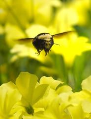 Rambling bumblebee (wolfpix) Tags: abejas de nikon bees bee abelha ape hommel oxalis api bij abeilles hummel  lebah bombus abelhas bienen bcek abejorro ar pszczoa   naturesfinest bourdon humla    albine nikond60 trzmiel bumbar mehilinen  bubuyog vela tawon  melk    ars mhszet abeha    fantasticinsect humlebier nikonfieldscopeed78 bombusars mehiliskannan