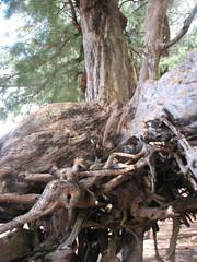 Above ground roots at Ke'e Beach (dorkyspice) Tags: hawaii kauai keebeach napalicoast