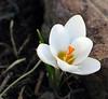 spring? (Abizeleth) Tags: white plant flower yellow closeup yard spring blossom crocus bloom mudseason bigmomma pfogold friendlychallenges outforawalkwiththedog beautifulworldchallenges