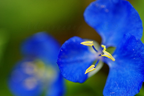The blue flowering Commelina cyanea and is an Australian native the bluest blue