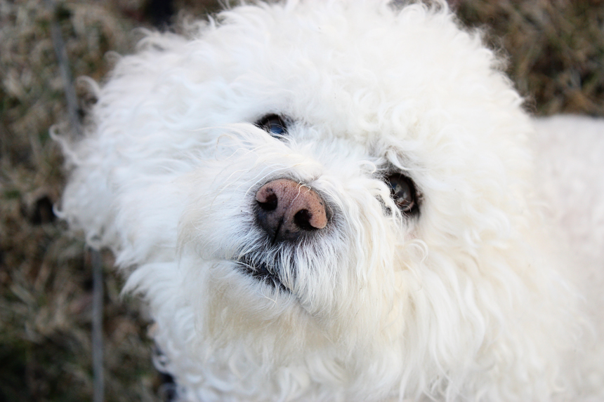 sammy, the bichon frise