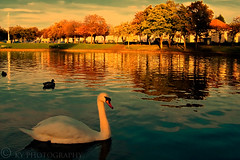 Swanning Around (KY-Photography) Tags: park uk blue houses light sunset shadow red sky orange reflection tree green bird nature water yellow night clouds evening scotland duck swan pond dof bokeh glasgow ky wildlife sony cybershot ps gb ripples khalid mute pointshoot allrightsreserved kal gloaming lanarkshire knightswood explored dscp12 kyphotography