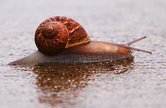 Snail trying to cross the street (* P.J.M. *) Tags: road reflection wet closeup canon shell snail ground dslr 70200 28l naturesfinest 50d abigfave anawesomeshot