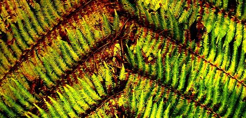 Ferns from the kiwi bush - New Zealand