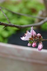桃の花、後ろは三つ葉