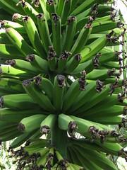 IMG_0202 (sibdesign) Tags: wild grn banane viele bananen straus obst unreif staude wachstum bananenstammabgeschnittenerotikblattjahresringebaumbananeschnittrodenerntenobstwildstaudevielebananengrnunreifwachstumbaumstammernte