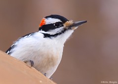 Hairy Woodpecker / Pic chevelu