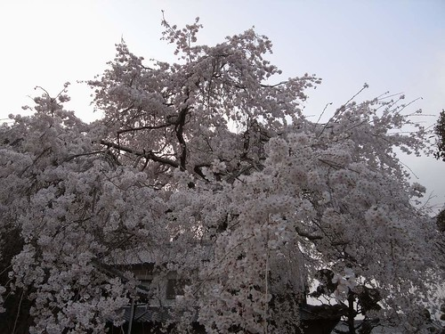 2009年-桜@専称寺(香芝市)-08