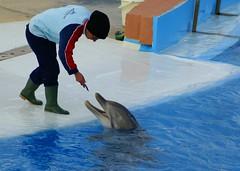 """""""Si no hacen los ejercicios no les dan de comer, por lo que hay hambre y sufrimiento. Las albercas tienen exceso de cloro y poca sal, por lo que es común la ceguera, así como quemaduras en la piel y ámpulas. (CaptiveDolphins-vs-WildDolphins) Tags: malta dolphins shame delphinarium malte mediteraneo maltagozo marinelands mediterraneomarinepark captivedolphins themediteranneomarineparkinmaltaisashame unehonte unaverguenza dauphinscaptifs themediteranneomarineparkinsliemathemediteranneomarineparkinmalta themediteranneomarinepark dauphinsdelfines delfinescautivos"""