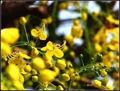 The ecstasy of gold (TheDimensions) Tags: flower yellow canon is kerala powershot vishu arun goldenshower kanikonna sx10 arunetm arunphotography