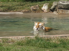 Tiger in for a swim