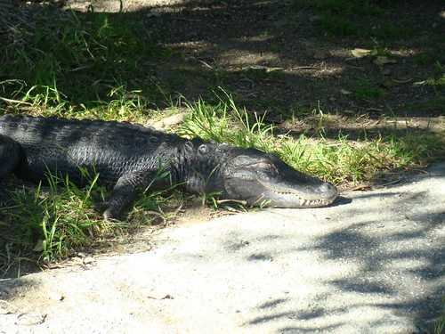 American Alligator at the Los Angeles Zoo