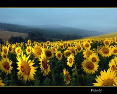 Sorrisi.. (sirVictor59) Tags: flowers sunset italy naturaleza holiday green art nature field yellow landscape topf50 nikon italia gallery colours image nikond70 topv1111 natur vivid natura topf300 peoples campagna amarillo giallo sunflowers sunflower worlds campo choice exquisite fiori sole 1001nights topf150 topf100 colori viterbo topf250 topf200 1870mm girasol colline collina lazio girasoli topf400 topf350 littlestories fiorita flowerscolors 35faves goldenmix abigfave colorphotoaward superbmasterpiece bratanesque frhwofavs macromix platinumheartaward vividmasters wonderfulworldmix goldstaraward tup2 great123 montijoverdeamarelo top20vivid picswithsoul alemdagqualityonlyclub sirvictor59 obq phvalue saariysqualitypictures