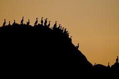 Cormorants (notes-on-vision) Tags: travel sunset bird beautiful birds silhouette cormorants interesting dusk explore vancouverisland westcoast inspiring capescott nationalgeographic
