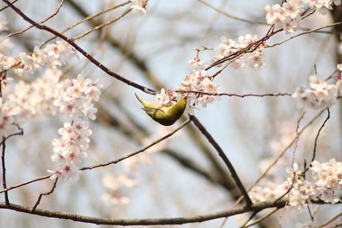 桜の花を落とす犯人は?