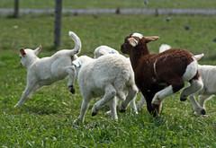 Healthy lambs