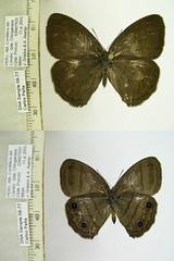 Magneuptychia alcinoe