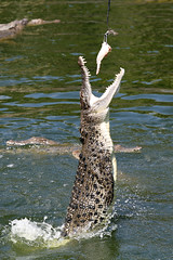 Croc jump!
