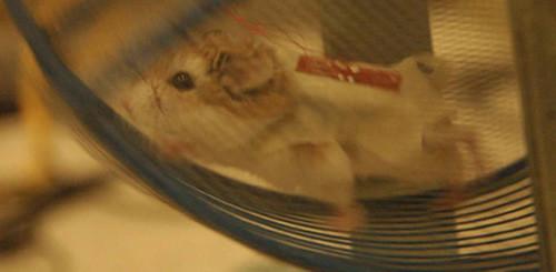 generatoare-hamsteri2