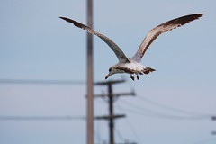 Herring Gull flying (MarforiMedia.com) Tags: bird wings bokeh herringgull flyingbird birdwings birdbokeh birdfly