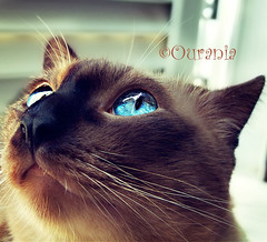 """what's up? "" ... (Ourania2005) Tags: macro up cat canon close blueeyes siamese powershot lovehim g9 motherscat vosplusbellesphotos"