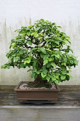 Chinese Quince (Pseudocydonia sinensis) (cliff1066) Tags: plant tree art museum asian japanese miniature gardening ikebana chinese culture arboretum conservatory bonsai growing japaneseart quince sculpted asianart specimens chineseart nationalarboretum sinensis penjing bonsaimuseum chinesequince asianculture pseudocydoniasinensis pseudocydonia nationalbonsaimuseum penjingmuseum nationalbonsaipenjingmuseum bonsaipenjingmuseum nationalbonsaipenjing nationalpenjingmuseum sculptedpines
