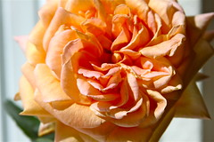 Happy Mothers Day - 2009 (!efatima) Tags: dedication rose mothers efatima mothersday