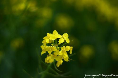 rapeseed2