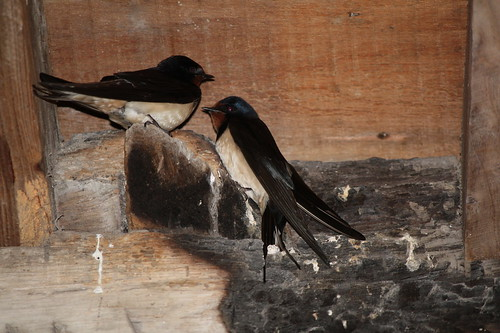 Pair of house martins