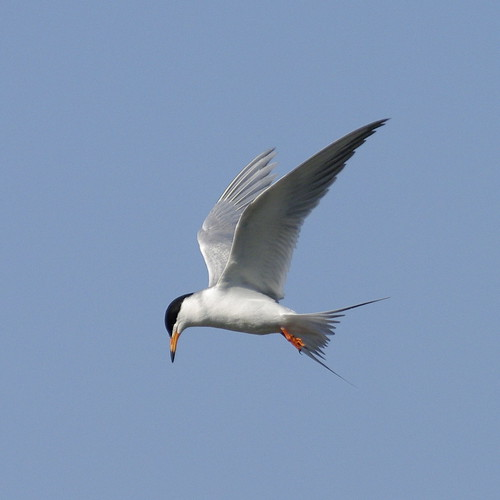 Froster's Tern with Pentax K20D and Pentax F* 300mm f/4.5