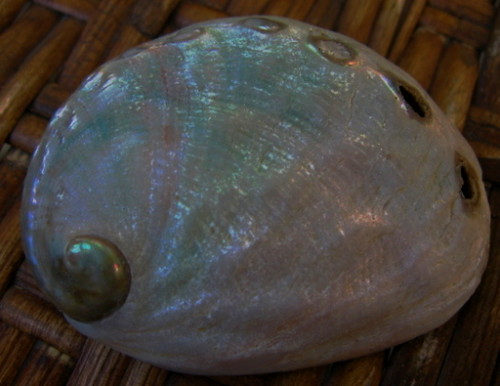 Baby Abalone Shell