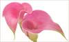 Calla Lily: Flower Macro - / Purple Flower / calla lily / lily /  - IMG_9751-1 (Bahman Farzad) Tags: flower macro lily purple calla highkey callalily purpleflower purpleflowers hikey flowermacro macroflower flowerpurple robertsartgallery