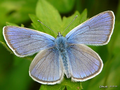 Silver-studded Blue / Bluling  (Dave :-) (on and off)) Tags: blue macro nature closeup dave lovely buterfly bluling silverstuddedblue platinumheartaward bueterflies
