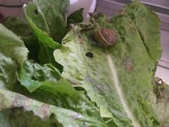 garden lettuce