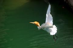 let us fly 3 (ashok monaliesa) Tags: white bird nature birds flying haryana hariyana