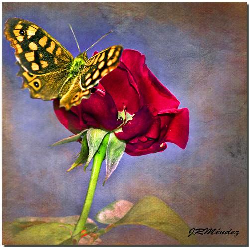 La rosa y la mariposa