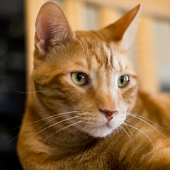 listening oscar (Apogee Photography) Tags: orange pet cats pets animals cat 50mm nikon feline dof f14 kitty gatos gato nikon50mmf14 d5000 nikonafsnikkor50mmf14g nikond5000
