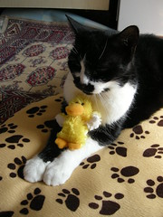 Crispy appears to be raising a wing (pasta_the_cat_supreme_ruler) Tags: me cat duck adorable pasta crispy duckie nomnomnom itsatwitterthing