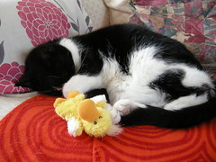 I am quite worn out (pasta_the_cat_supreme_ruler) Tags: cat duck amazing gorgeous adorable pasta crispy stunning duckie nomnomnom