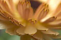 Gerbera Daisy unfolding
