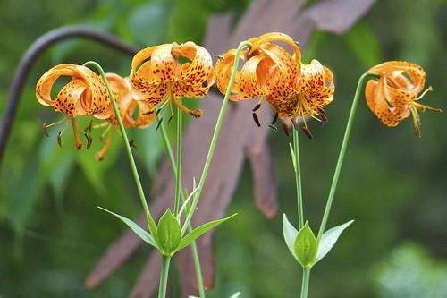 Tiger Lily (Lilium columbianum)