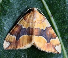 Barred Yellow (Cidaria fulvata). (od0man) Tags: macro insect geotagged moth lepidoptera geometridae larentiinae barredyellow cidariafulvata geo:lat=51567374 geo:lon=1733201