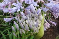 DSC02202 (aurora quintos) Tags: blooms agapanthus