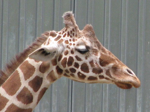 I love this giraffe picture I took. Photo Credit: ME